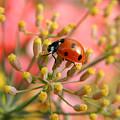 Ladybug On Fennel by Roger Medbery