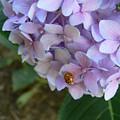 Ladybug On Hydrangea by Serina Wells