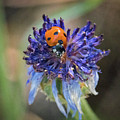 Ladybug On Purple Flower by Mitch Shindelbower