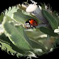 Ladybug On Sage With Swirly Framing by Carol Groenen