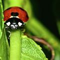 Ladybug by Surjanto Suradji