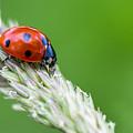 Ladybug by Valerio Poccobelli