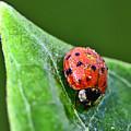 Ladybug With Dew Drops by Kerri Farley