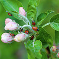 Ladybugs On Apple Blossoms by Bruce Block