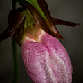 Ladyslipper  by Diane Moore