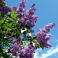 Lake Country Lilacs by Will Borden