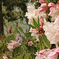 Lake Crescent Lodge Rhododendrons by Carol Groenen