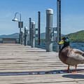 Lake George Duck by Sean Comiskey