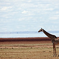 Lake Manyara Study II by John  Nickerson