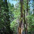 Lake Tahoe Tree by Rick Mosher