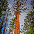 Lake Tahoe Trees On 89  by LeeAnn McLaneGoetz McLaneGoetzStudioLLCcom