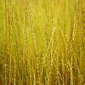 Lake Tahoe Wild Grasses by LeeAnn McLaneGoetz McLaneGoetzStudioLLCcom