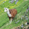 Lama In Geiranger by Arild Lilleboe