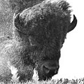 Lamar Valley Bison Black And White by Dan Sproul