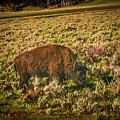 Lamar Valley Buffalo by Rogermike Wilson