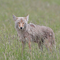 Lamar Valley Coyote by Dan Sproul