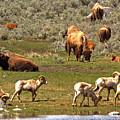 Lamar Valley Wildlife Picnic by Adam Jewell