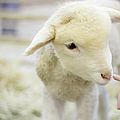Lamb At Denver Stock Show by Anda Stavri Photography