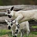 Lamb Block by Buddy Scott