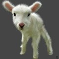 Lamb Chop by Dave H