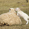 Lamb Jumping On Mom by Jeff Swan