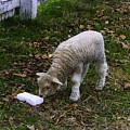 Lamb by Ola Allen