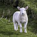 Lamb On The Isle Of Skye by Fran Gallogly
