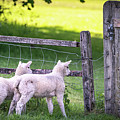 Lambs At The Gate by Framing Places