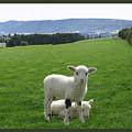 Lambs In Pasture by Dominic Yannarella