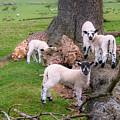 Lambs by Mariusz Talarek