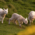 Lambs On The Meadow by Angel Ciesniarska