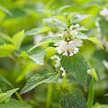 Lamium Album White Flowers Macro by Arletta Cwalina
