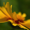 Lance Leaved Coreopsis by Juergen Roth
