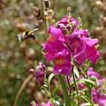 Landing Bumblebee by Ivana Westin