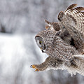 Landing Great Grey Owl by Daryl L Hunter