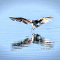 Landing Gull by Michael Riley