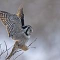 Landing Hawk Owl by Tim Grams