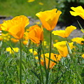 Landscape Poppy Flowers 5 Orange Poppies Hillside Meadow Art by Baslee Troutman