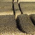 Lanes On Cornfield by Heiko Koehrer-Wagner