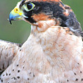 Lanner Falcon by Alan Lenk