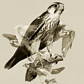 Lanner Falcon Collage by Basie Van Zyl