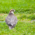 Lanner Falcon by Gabriela Insuratelu