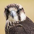 Lanner Falcon by Thomas Morris