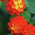 Lantana Bandana Red Flower by Judy Whitton