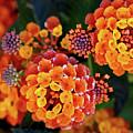 Lantana Blooms by Vanessa Thomas