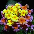 Lantana Flower Chips by Morris Keyonzo