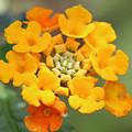 Lantana Flower by Julie Rubacha