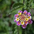 Lantana In Bloom by Dan McManus