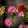 Lantana  by Robert Bales
