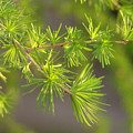 Larch Branch And Foliage by Nathan Abbott